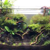 【ネイチャーアクアリウム】60cm水槽立ち上げから3ヶ月。ADAの佗び草で水上葉を追加